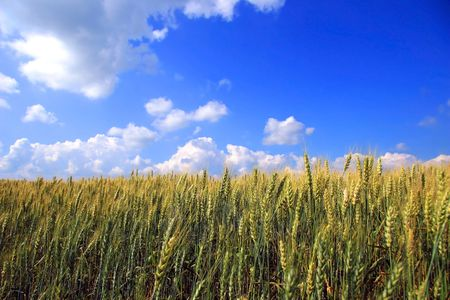 A field of wheat in rural Quebec, Canada Stock Photo - 2564343