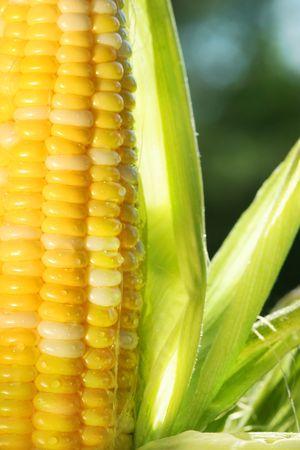 corn field: Close-up of an ear of corn with sun shining
