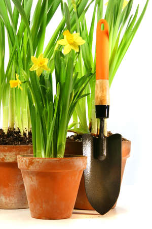 Pots of daffodils with garden shovel on white background photo