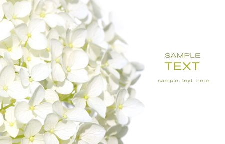 hydrangea flower: White hydrangea flowers against white background