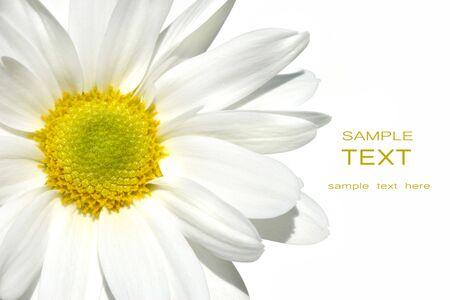 White shasta daisy on white background Stock Photo - 3097072