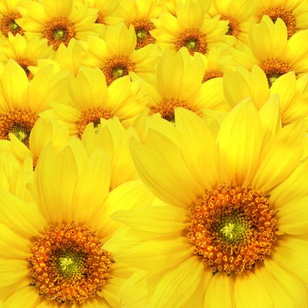 Yellow sunflower flowers Atop One Another Stock Photo - 3632703