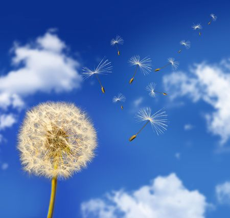 plant seed: Dandelion seeds blowing in the wind against blue sky