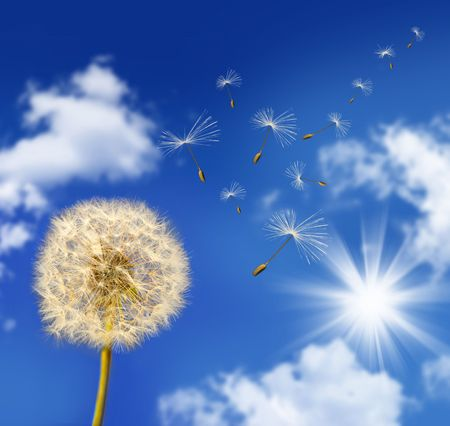 Dandelion seeds blowing in the wind against blue sky