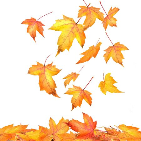 Maple leaves falling  on white background Stock Photo - 3733854