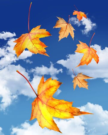 Maple leaves falling against a blue sky Stock Photo - 3733835