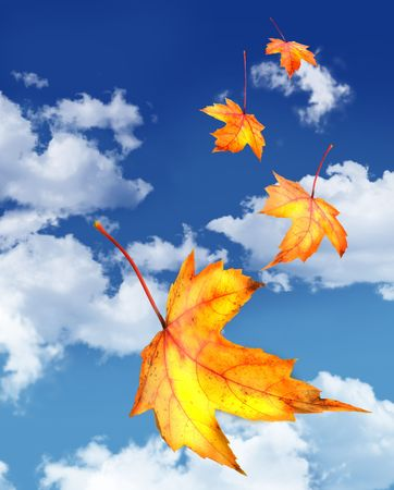 Maple leaves falling against a blue sky Stock Photo - 3733832