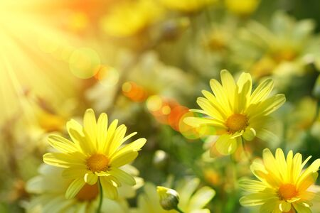 Closeup of yellow daisies with warm rays from the sun Stock Photo - 4402524
