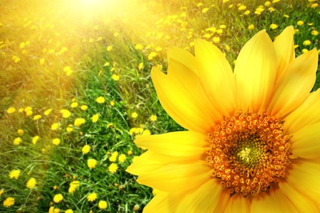 Big yellow sunflower with sun filled background Stock Photo - 4545688