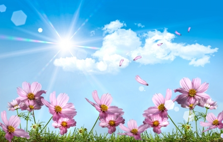 Pink cosmos against a blue summer sky