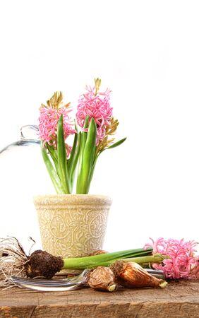 Pink jacinthe plantes à bulbes rustiques sur table