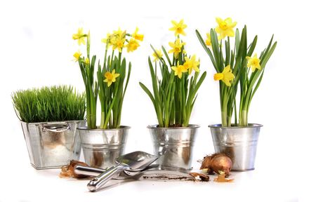 Pots of daffodils with garden tools on white background