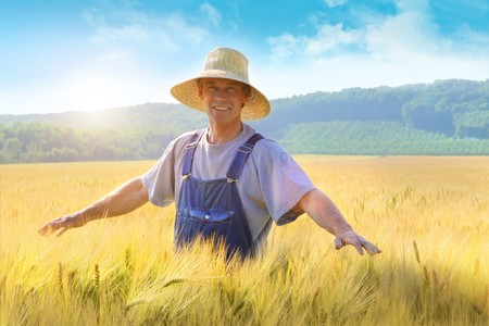 shavuot: Farmer checking his crop of wheat