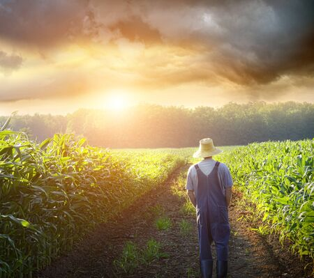 Farmer walking in corn fields with beautiful sunset Stock Photo