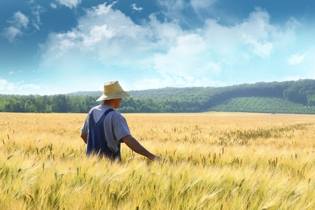 cultivo de trigo: Farmer caminando a trav�s de un campo de trigo dorado  Foto de archivo