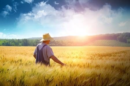 農家: 黄金の小麦畑を歩いて農家