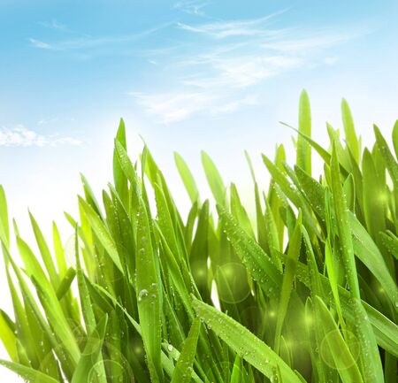 good weather: Fresh wheatgrass with dew drops against blue sky Stock Photo