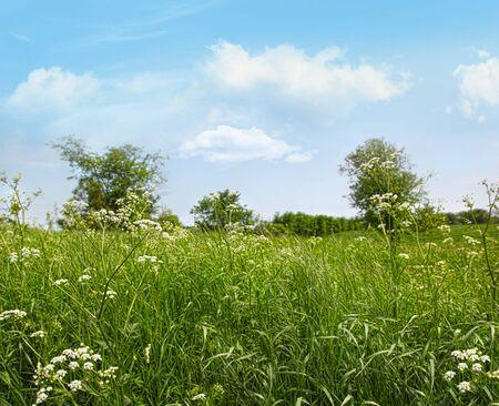 Queen anne's lace wildflowers growing in field