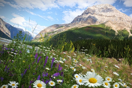 banff: Field of daisies and wild flowers with Rocky Mountains in background