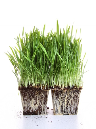 wheat grass: Fresh wheat grass against a white background.