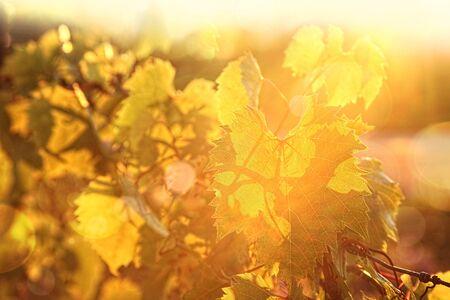 earth tone: Closeup of grape vines at sunset Stock Photo