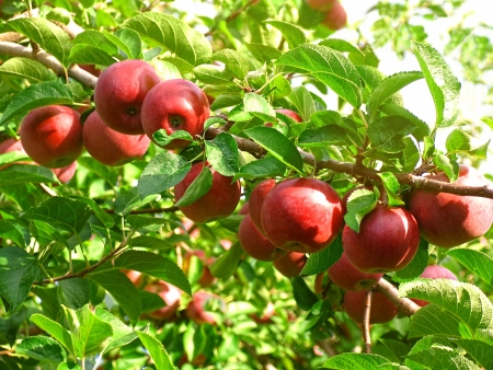 Red McIntosh apples in the orchard Stock Photo - 10922050