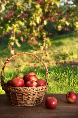 Delicious red apples in basket on table in orchard Archivio Fotografico