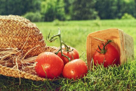 Fresh picked tomatoes with garden hat on grass