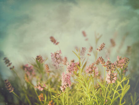 Lavender flowers with vintage color filters photo