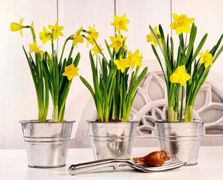 Pots of spring daffodils on table Фото со стока