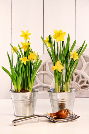 Yellow spring daffodils in pots Фото со стока