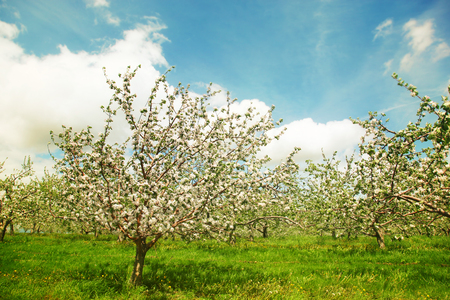Blossoming apple orchard in spring Фото со стока