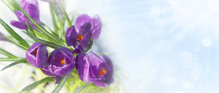 Spring crocus flowers in the snow with copyspace