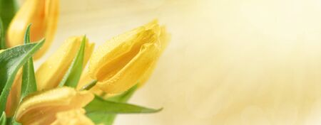 Spring floral background with yellow tulip flowers