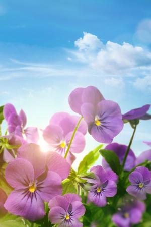 Spring violet flowers against a blue sky