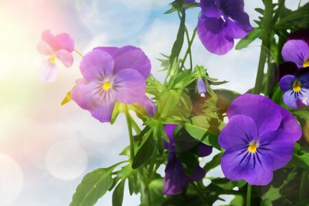 Blue colored pansy flowers against a light background Фото со стока