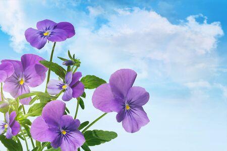 Purple violet flowers against a blue sky Фото со стока
