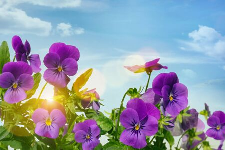Purple violets against a sky background Stock Photo