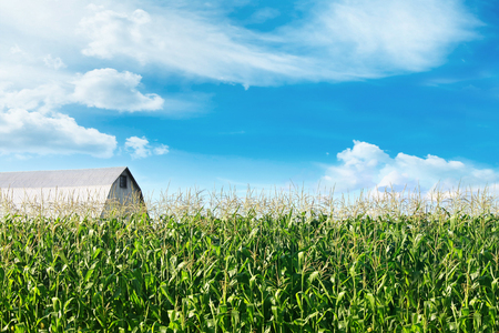 Corn field with barn and blue skies in background Фото со стока