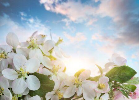 Apple blossoms against soft sky background 免版税图像