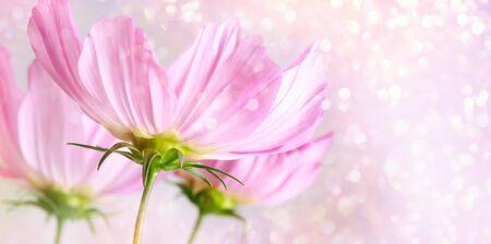 Cosmos flowers on soft pastel background 免版税图像