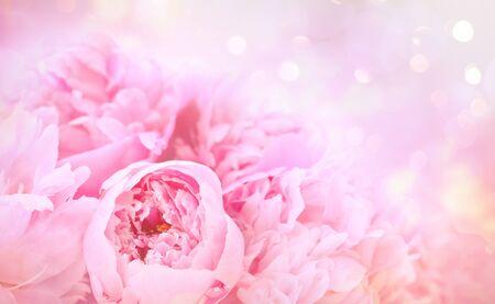 Closeup of peony flowers on soft pastel background 免版税图像