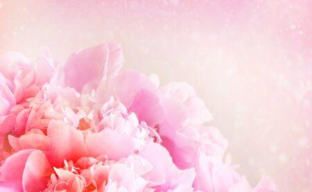 Closeup of peony flower on pastel background