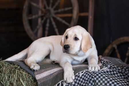Portrait of a yellow labrador puppy lying in the hay