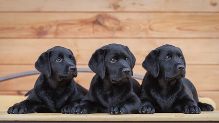 three black labrador puppies , dog , two months old, lie on a table against the background of a wooden house Stock fotó