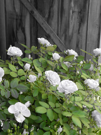 Roses by the shed door