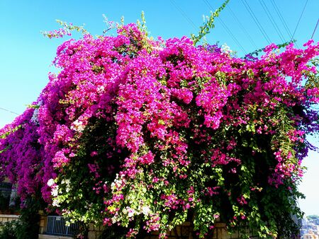 A flower tree that hanging by the wall and filled with bright a flower tree that hanging by the wall and filled with bright pink flowers stock mightylinksfo
