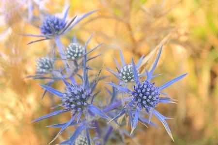 Fleurs dans le domaine: eryngium feverweed épineuse Banque d'images - 53538543