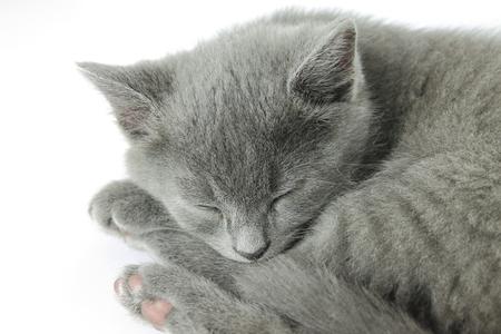 lightbox: Little grey kitty sleeping in a light-box
