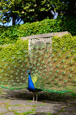 Beautiful peacock displaying itself on a beautiful sunny day. The peacock has the scientific name of Pavo cristatus. It is a native bird of the Indian subcontinent, being the national bird of India.